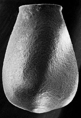 <i><i>Eisenackitina lagena</i></i><br />Ruhnu 500 borehole, 361.90 m, Jaagarahu Stage ( 272-100)