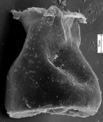 <i><i>Cingulochitina crassa</i></i><br />Staicele 4 borehole, 252.30 m, Jaagarahu Stage ( 350-24)