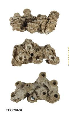 Sarcinula organum (Linnaeus, 1758), TUG 270-50