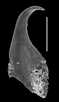 <i>Atraktoprion sp.</i><br />West Anticosti coastal outcrops, Canada,  m, Hirnantian