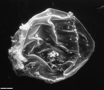 Leiosphaeridia tenuissima Eisenack, 1958, TUG 1544-2