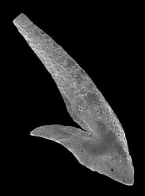 Periodon flabellum (Lindström, 1954), GIT 342-11