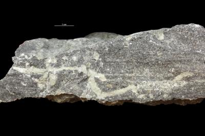 Balanoglossites isp., GIT 362-556