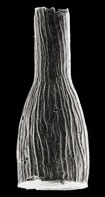 <i><i>Chitinozoa</i> | Cyathochitina cf. dispar Benoit et Taugourdeau,1961</i><br />Eikla 508 borehole, 289.50 m, Nabala Stage ( 306-2)