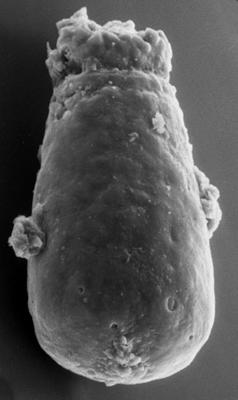 <i><i>Chitinozoa</i> | Conochitina sp. 5 Nestor, 1994</i><br />Viluvere 324 borehole, 51.50 m, Adavere Stage ( 272-142)