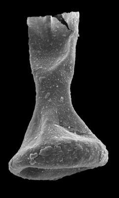 <i><i>Sphaerochitina concava</i></i><br />Kolka 54 borehole, 430.80 m, Jaagarahu Stage ( 546-93)
