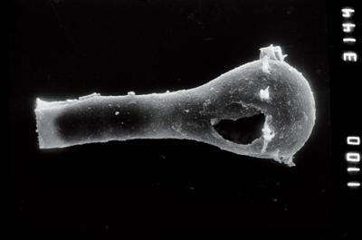 <i><i>Ancyrochitina convexa</i></i><br />Viki borehole, 200.00 m, Raikküla Stage ( 754-932)