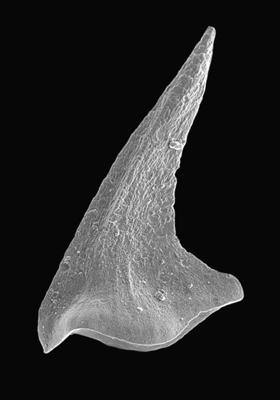 Paltodus subaequalis Pander, 1856, GIT 495-34