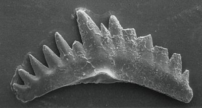 Ozarkodina excavata puskuensis Männik, 1994, GIT 254-1