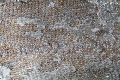 Ptilodictya sp., GIT 537-808