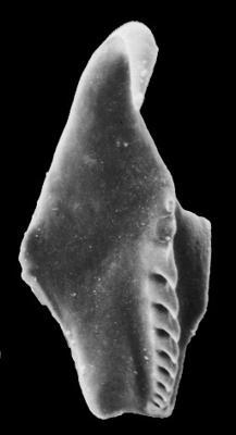 <i>Atraktoprion sp. A Hints, 2000</i><br />Rapla borehole, 166.50 m, Kukruse Stage