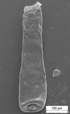 <i><i>Conochitina claviformis</i></i><br />Staicele 4 borehole, 288.50 m, Jaani Stage ( 754-1383)