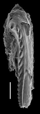 <i>Mochtyella cf. trapezoidea</i><br />West Anticosti coastal outcrops, Canada,  m, Katian
