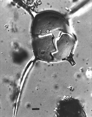 Orthosphaeridium chondrododora Loeblich et Tappan, 1971, GIT 344-245