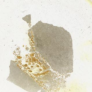 Dartmuthia gemmifera Patten, 1931, TUG 267-74