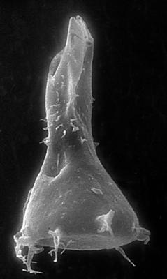 <i><i>Chitinozoa</i> | Ancyrochitina sp. 1 Nestor, 1993</i><br />Jaagarahu borehole, 54.75 m, Adavere Stage ( 273-5)