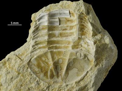 Asaphus sp., GIT 453-759
