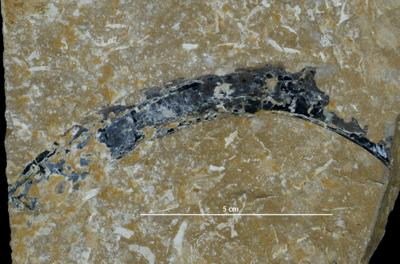 Medusozoa