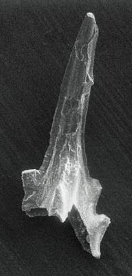 Icriognathus cornutus Männik, 1992, GIT 252-4