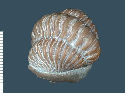 Calymene blumenbachi Brongniart, 1822, GIT 221-6