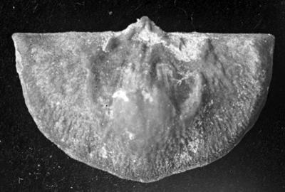 Sowerbyella liliifera Öpik, 1930, TUG 1054-113