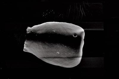 <i><i>Eisenackitina dolioliformis</i></i><br />Varbla 502 borehole, 128.00 m, Jaani Stage ( 754-577)