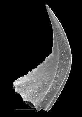 Ansella cf. fenxiangensis (An, Du, Gao, Chen et Lee), GIT 637-20