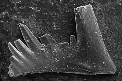 Aspelundia fluegeli ssp. n. Männik, 2007, GIT 511-43