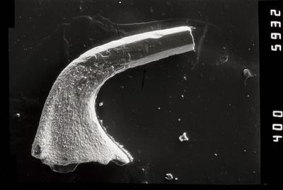 Variabiloconus sp., GIT 796-57
