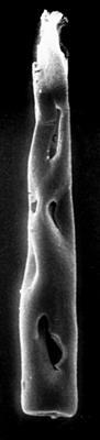 <i><i>Conochitina claviformis</i></i><br />Jaagarahu borehole, 35.70 m, Jaani Stage ( 273-25)