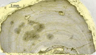 Densastroma pexisum (Yavorsky, 1929), GIT 333-252