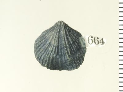 Eospirigerina porkuniana Rubel, 1970, GIT 130-98