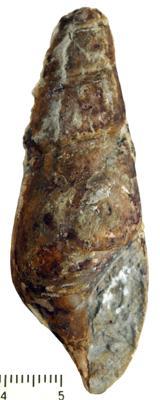 Subulitoidea