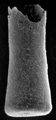 <i><i>Conochitina elongata</i></i><br />Varbla 502 borehole, 173.40 m, Raikküla Stage ( 213-12)