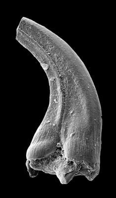 Panderodus sulcatus (Fåhraeus, 1966), GIT 449-50