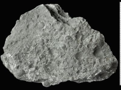 Peltura scarabaeoides Wahlenberg, 1821, GIT 515-89