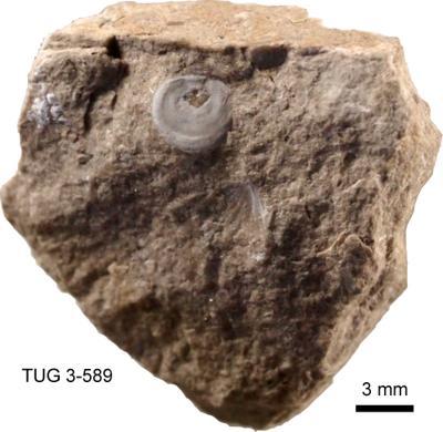 Pseudometoptoma monopleurum Huene, TUG 3-589