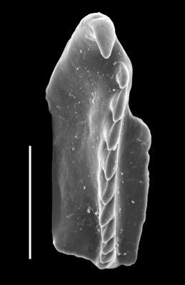 Kalloprionidae