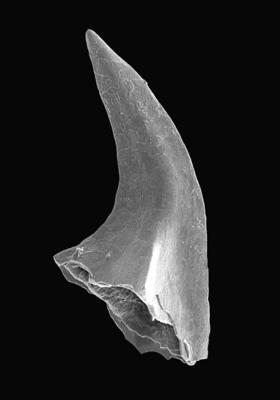 Acodus deltatus Lindström, 1955, GIT 495-24