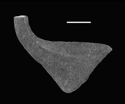 Dapsilodus sp. n. R Loydell et al., 2010, GIT 566-4
