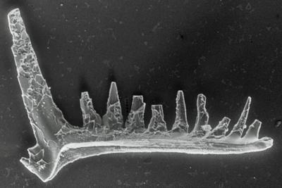 Ozarkodina excavata puskuensis Männik, 1994, GIT 254-10