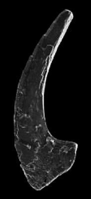 Drepanoistodus cf. nowlani Ji et Barnes, 1994, GIT 342-4
