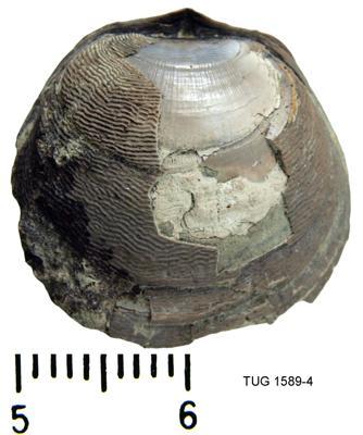 Acritis antiquissimus Eichwaldt, TUG 1589-4
