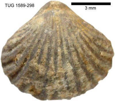 Rhynchotrema parva Oraspõld, 1956, TUG 1589-298
