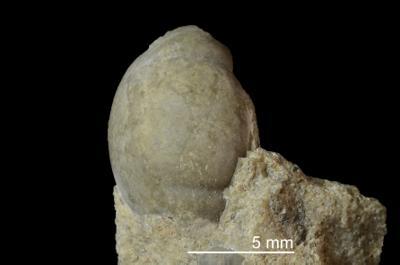 Symphysurus sp., GIT 437-414