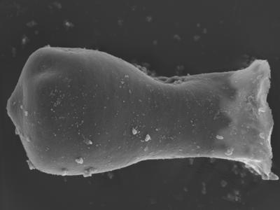<i><i>Linochitina odiosa</i></i><br />Ohesaare borehole, 161.70 m, Jaagarahu Stage ( 754-332)