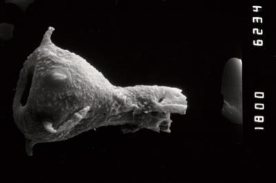 <i><i>Ancyrochitina diabolus</i></i><br />Ohesaare borehole, 111.00 m, Paadla Stage ( 754-1001)