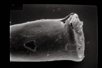 <i><i>Conochitina elongata</i> | Conochitina aff. elongata</i><br />Kipi borehole, 97.00 m, Jaagarahu Stage ( 754-90)