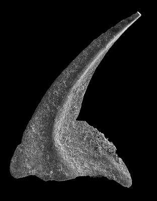 Oistodus lanceolatus Pander, 1856, GIT 594-33