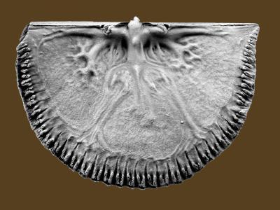 Cyrtonotella kuckersiana (Wysogorski, 1900), GIT 400-1
